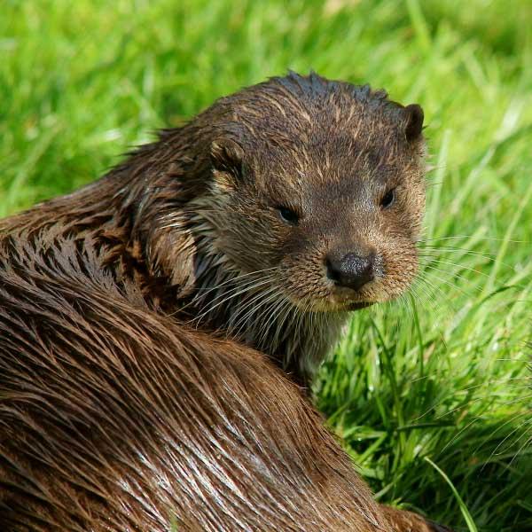 Otter is gezien in Midden-Limburg - Vakantie in Limburg