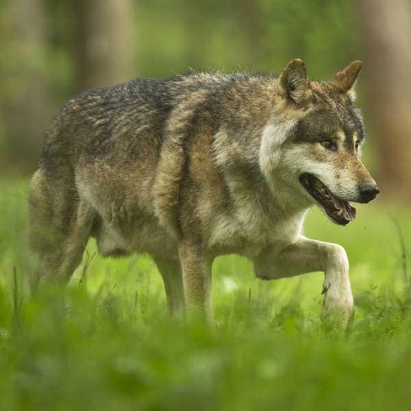 Opnieuw een wolf in Limburg?