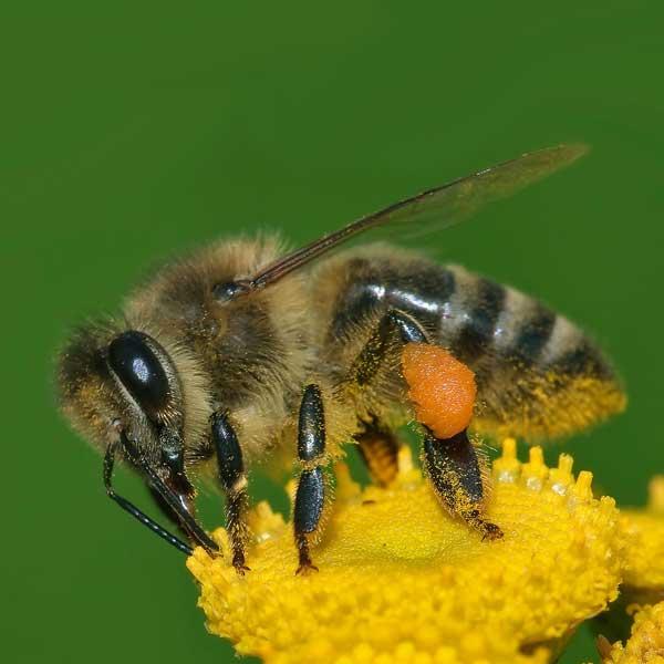 Provincie Limburg Bijeen voor Bijen