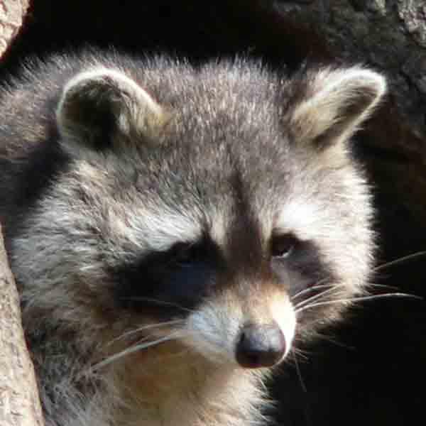 Populatie wasberen in Limburg is groter dan gedacht