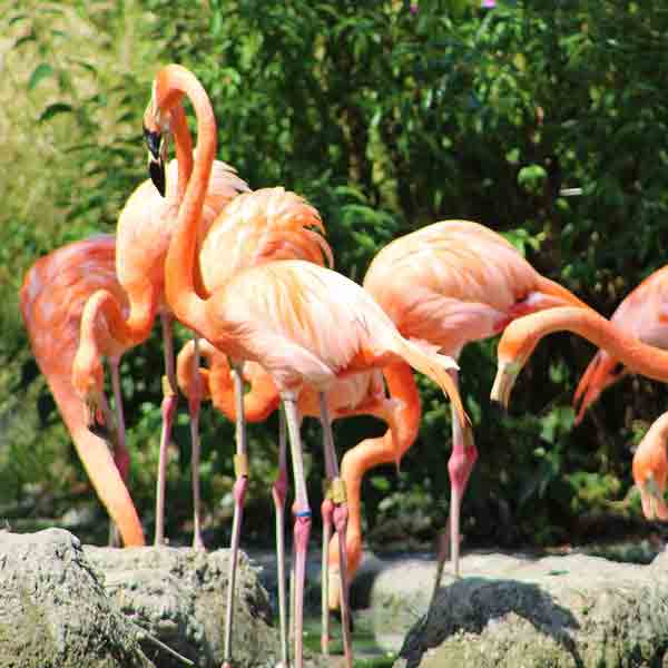 Grootste Flamingo kolonie van Europa verhuist naar GaiaZOO - Vakantie in Linburg