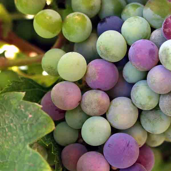 'Limburgse wijnstraat' moet toeristen naar wijnboeren lokken