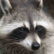 Provincie Limburg start met vangen wasberen