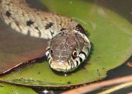 Ringslang en gladde slang meer te zien in Zuid-Limburg - Vakantie in Limburg